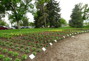 What began as empty beds are now rows of happy young plants awaiting viewing by hundreds of CSU students and faculty, green industry professionals, and tourists, not to mention many others.